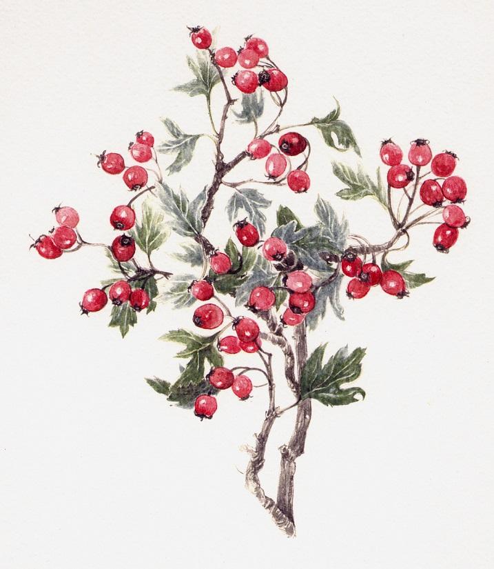 Eleagnus multiflora