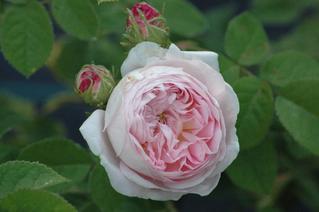 'Belle Isis'