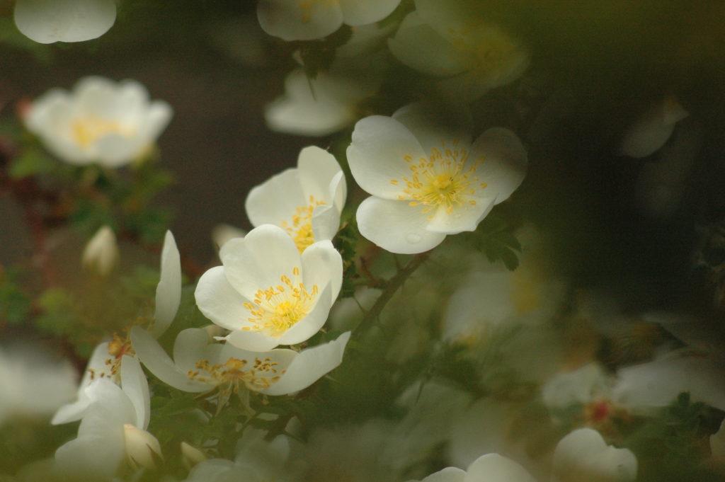 'Dunwich Rose'