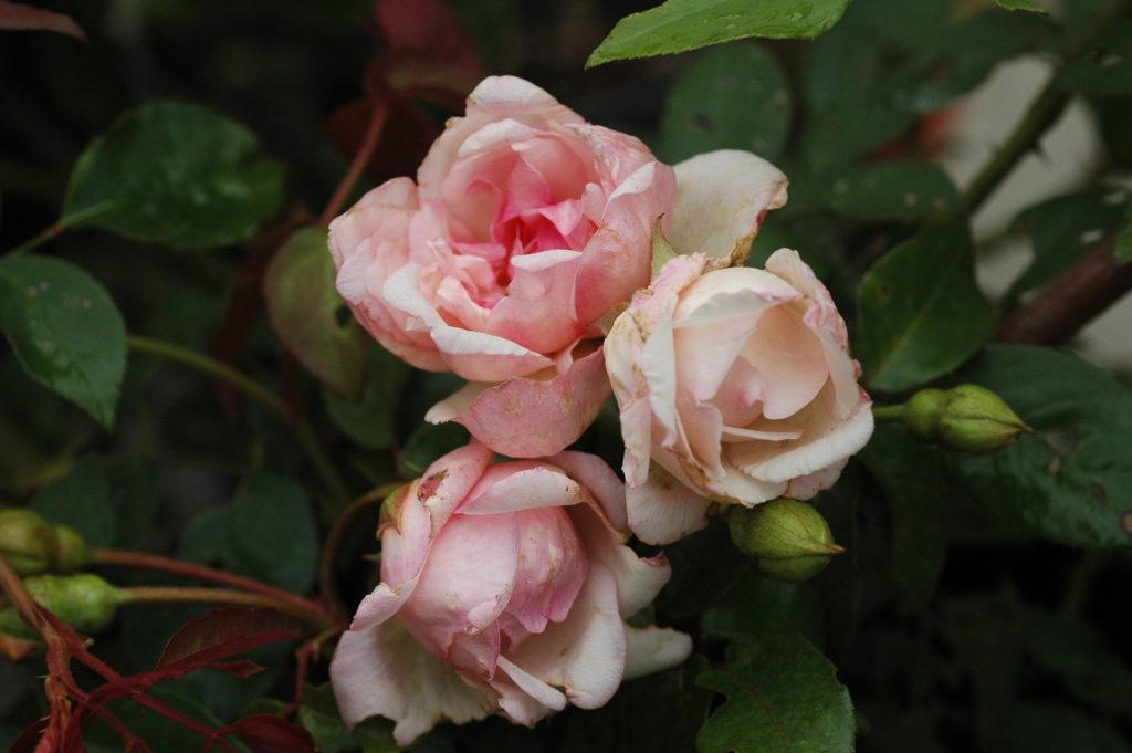 'Emmanuella de Mouchy' (Ibrido di Rosa gigantea)