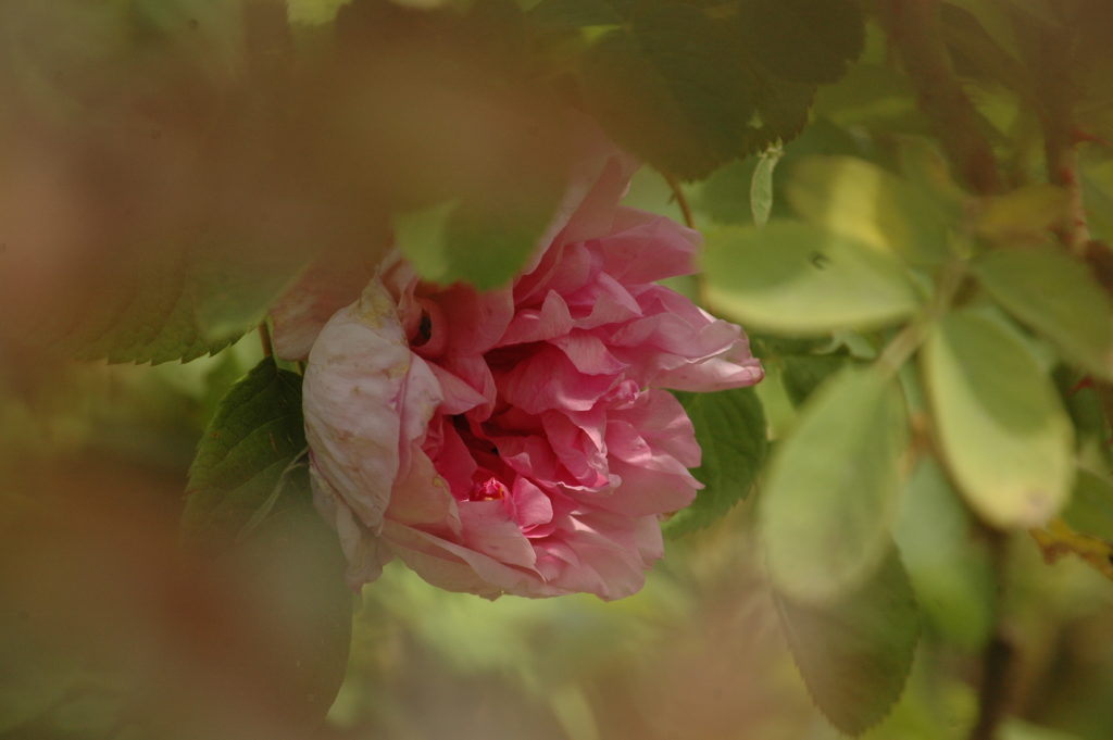 Rosa damascena bifera
