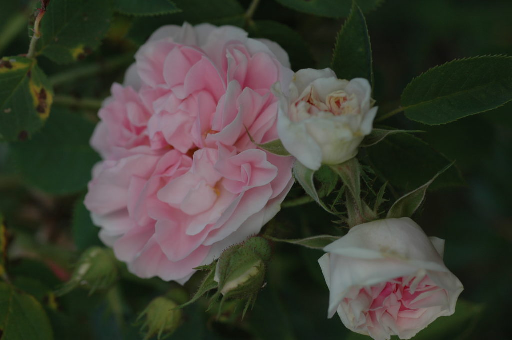 'Great Maiden's Blush'