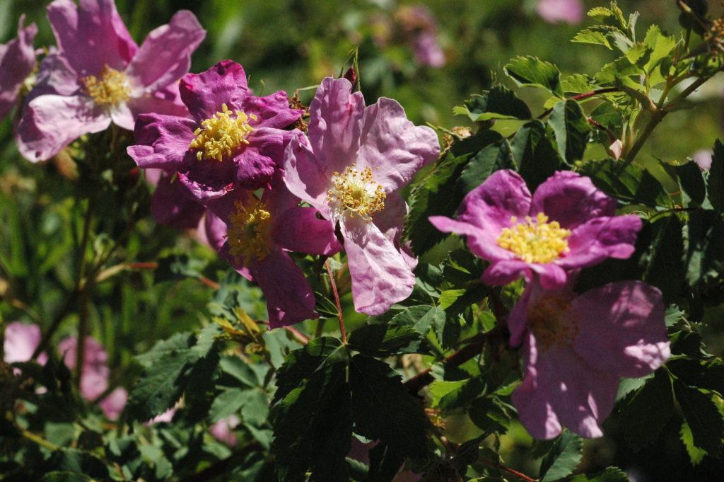Rosa johannensis (Rosa blanda var. glabra)