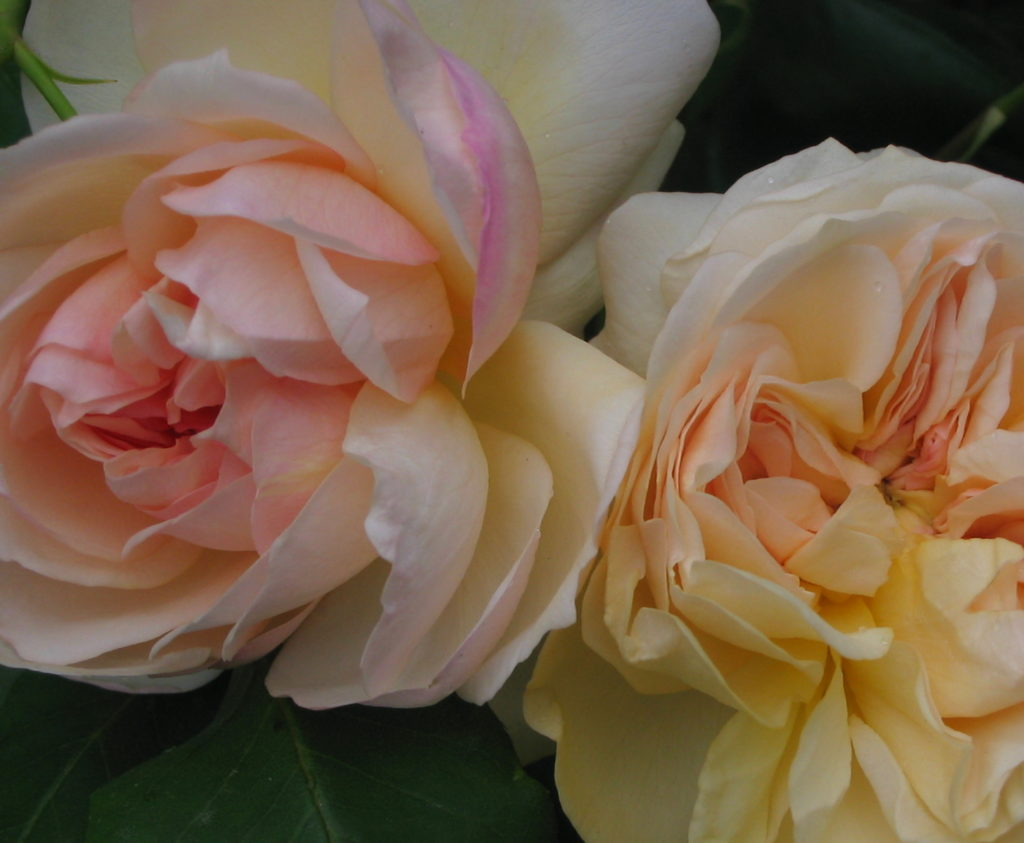 'Desprez à Fleurs Jeaunes' (Noisette)