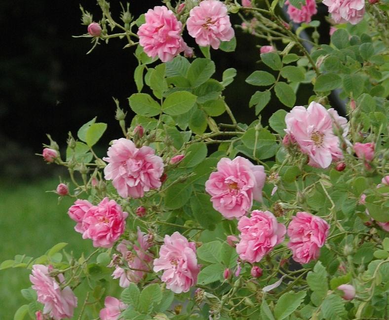 'Kazanlik' (Rosa trigintipetala)