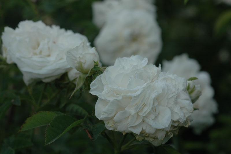 'Mme Plantier'