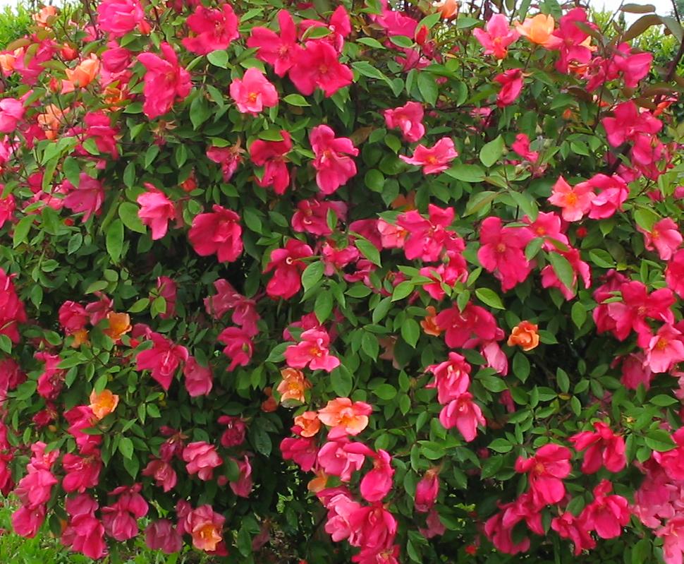 'Rosa Mutabilis'