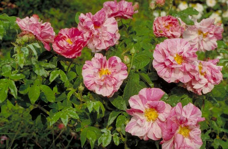 'Rosa Mundi'