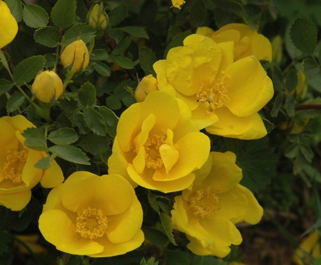 Rosa foetida (Rosa lutea)