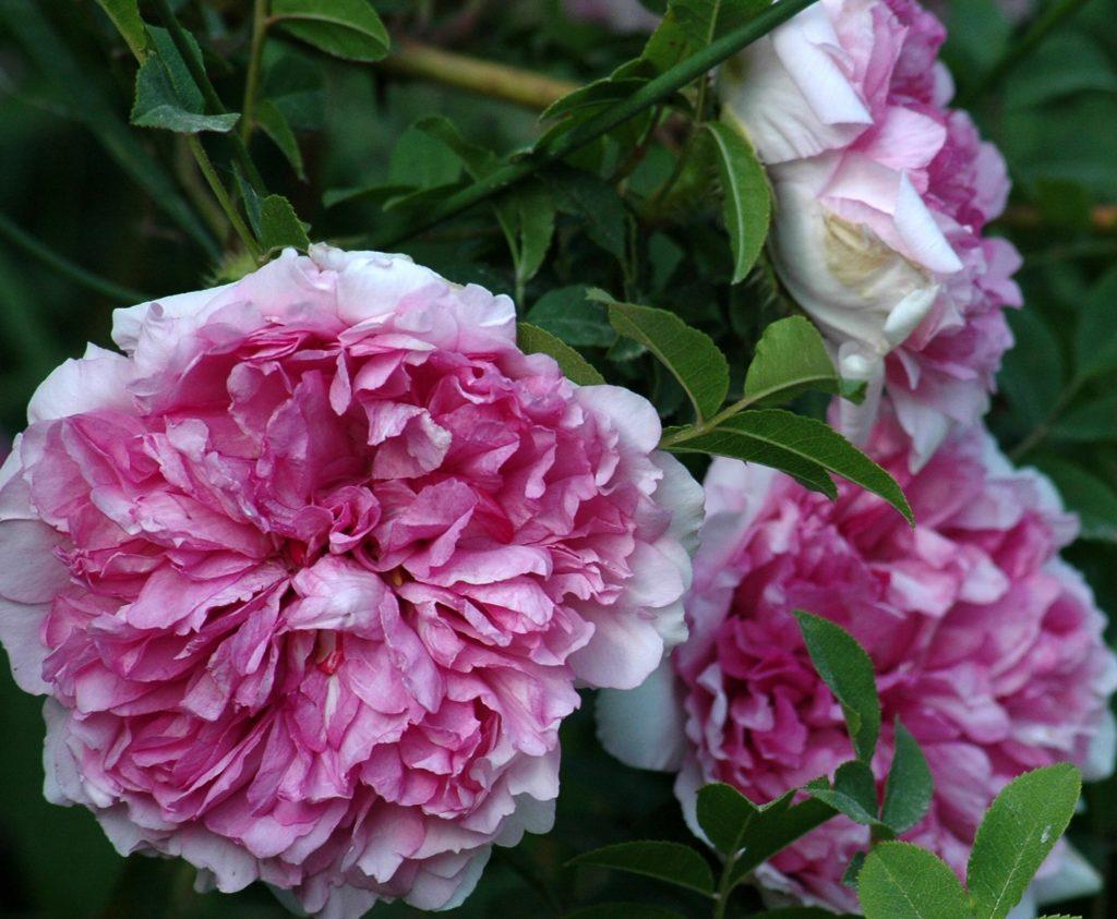 Rosa roxbourghii plena