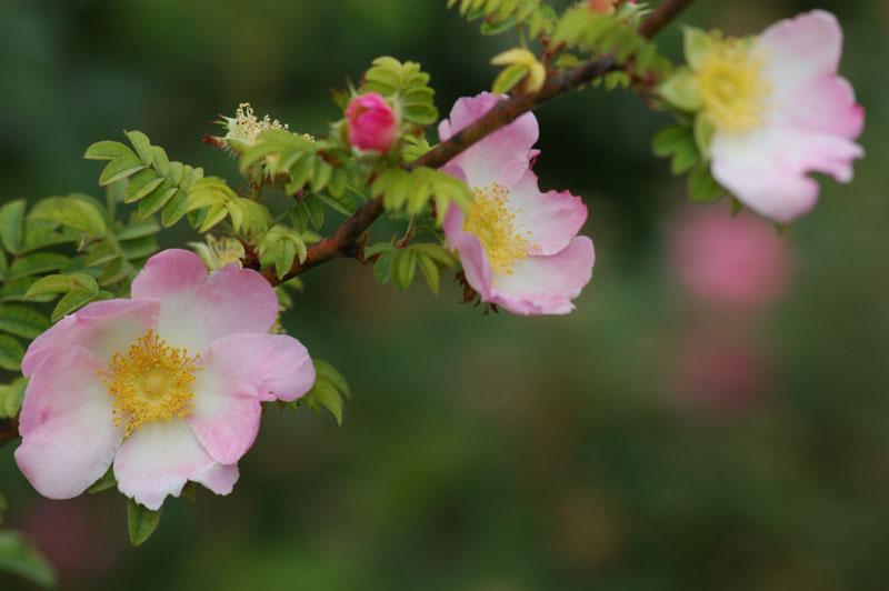 Rosa roxburghii
