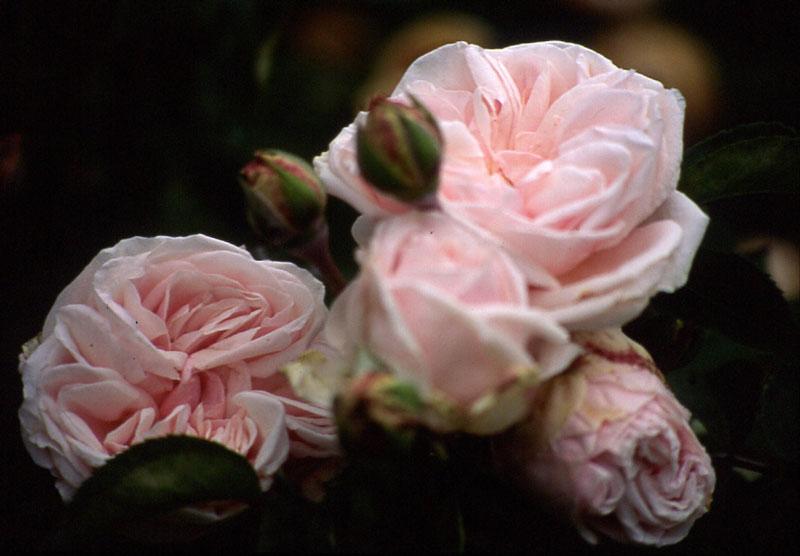 'Souvenir de la Malmaison'