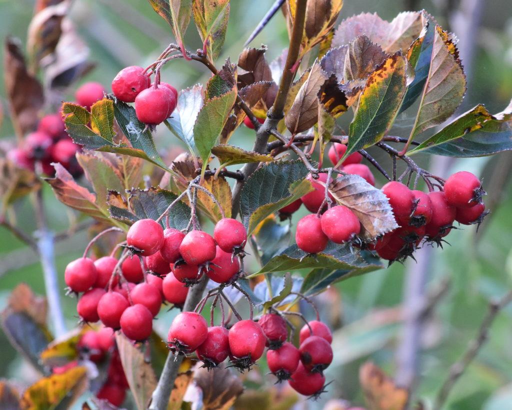 Crataegus prunifolia 'Splendens'