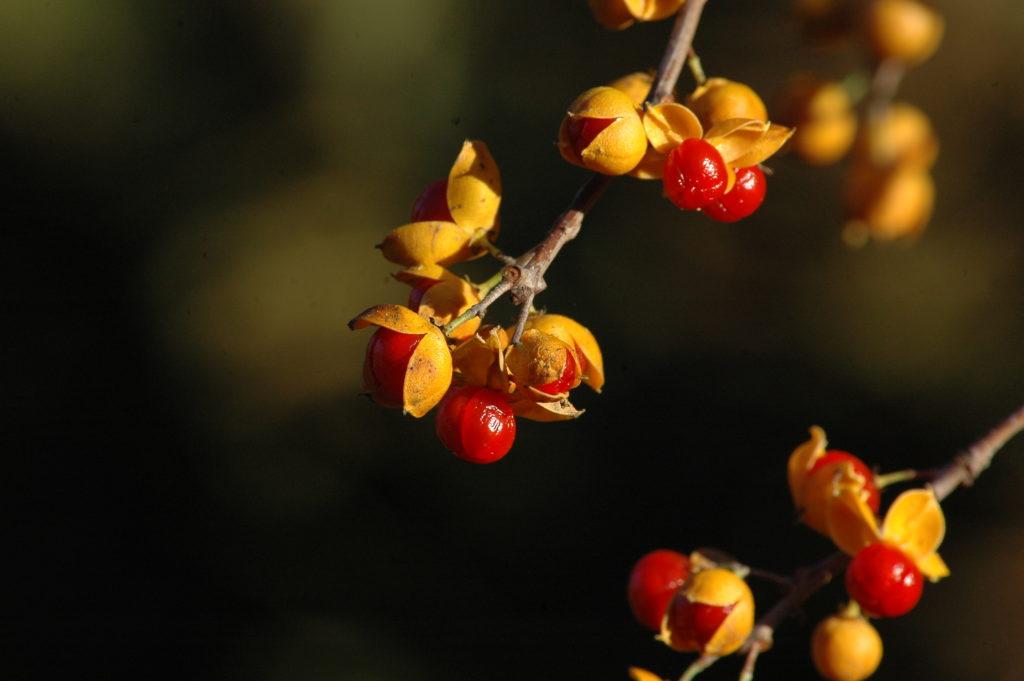 Celastrus orbiculatus