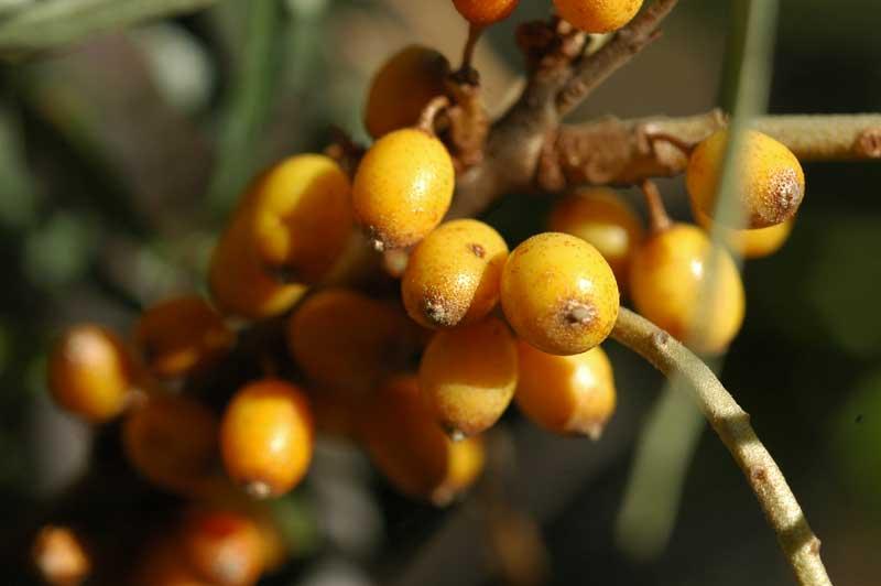 Hippophäe rhamnoides (Olivello Spinoso)