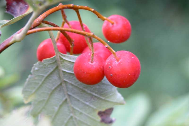 Sorbus aria (Sorbo Montano)