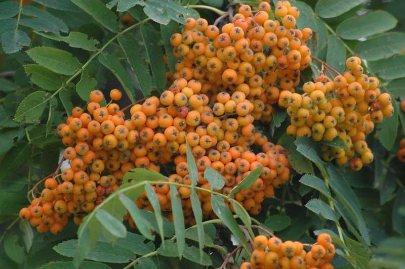 Sorbus aucuparia (Sorbo degli uccellatori)