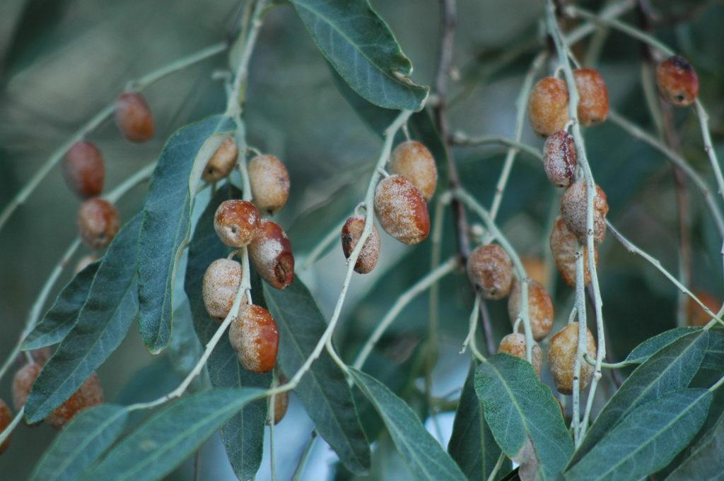 Eleagnusangustifolia